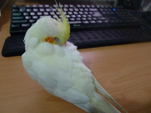 粉圓鳥寶在書桌上睡覺