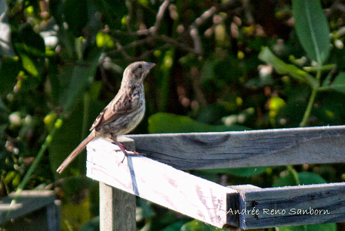 Song Sparrow on Tomato Cage (Melospiza melodia)-9.jpg