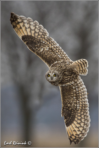 Short-eared owl posing