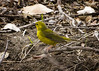 Hooded Warbler 2 of 3