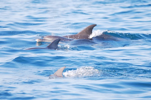 Indo-Pacific Bottlenose Dolphins