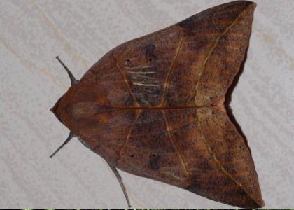 夜蛾停棲時前翅幾近平放,會完全將後翅蓋住。攝影:林旭宏、施信鋒、施禮正