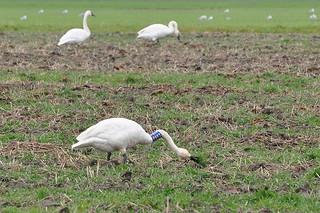 2011-12-02 Tundra Swan P893 (03) (1024x680)