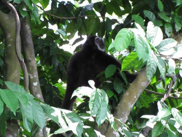 MOVIE: gibbon howling