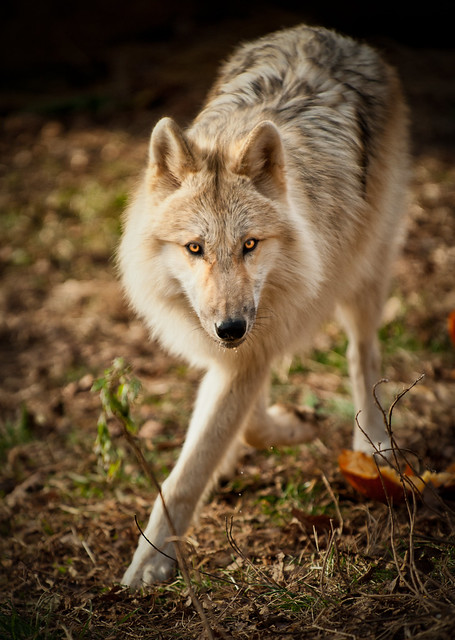 Recent Photos The Commons Getty Collection Galleries World Map App    Light Brown Female Wolf