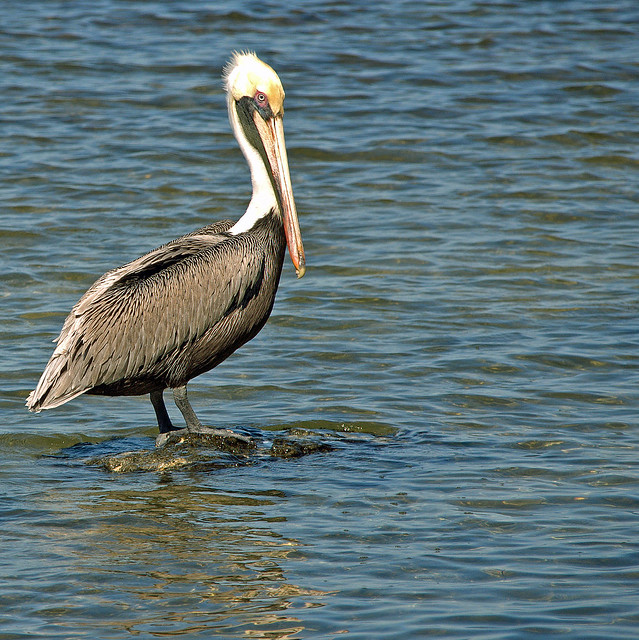 Mister Brown Pelican