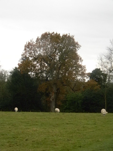 Sheep in a field with a tree