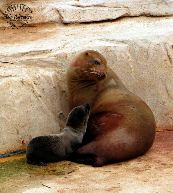 Baby Seal and Mother