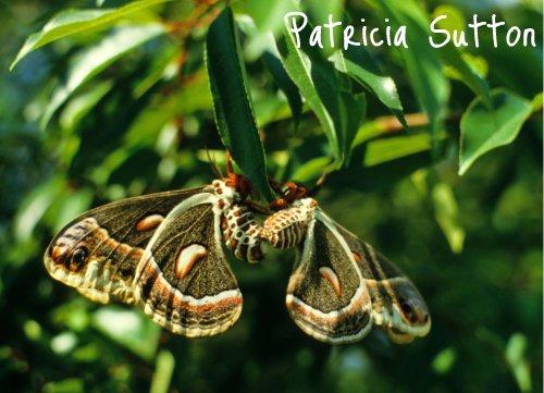 Cecropia Moths-w-sig
