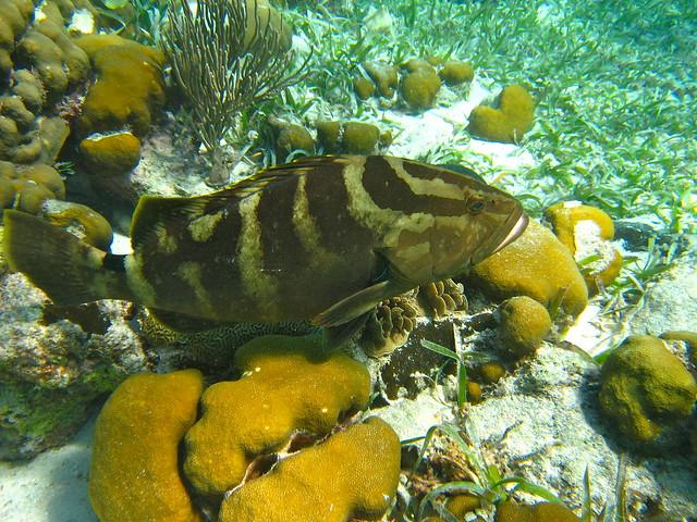 grouper fish hol chan marine reserve