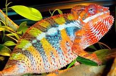 bukalemun renk değiştirme