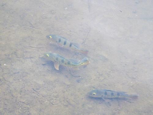 IMG_0100 Fish Gunung Lang Ipoh,怡保崑仑浪