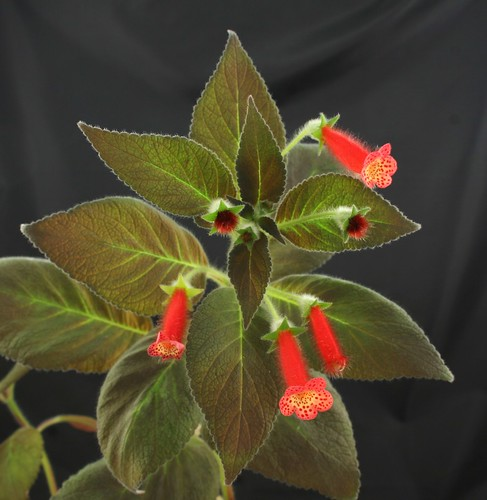 Kohleria Bristol's Possibly Bronze 2