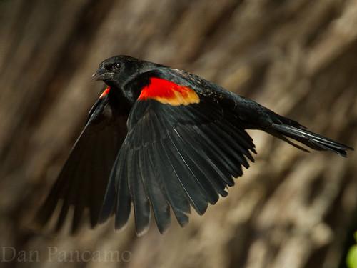 bird birds december texas mimis april harlingen bif redwingedblackbird 2011 canon14x bentsenriograndevalleystatepark canon300mmf28 canon7d kenkopro30014x