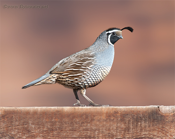 Male California Valley Quail - Fence Rail