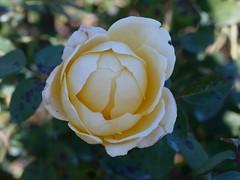 日, 2010-11-07 14:02 - New York Botanical Garden (Bronx) ブロンクスの NY植物園 薔薇