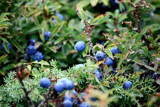 Wild Berries (Sweden)   Flickr - Photo Sharing!