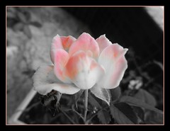 Pequena rosa