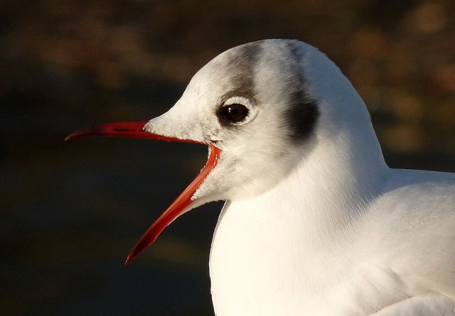25485 - Black Headed Gull, Slimbridge