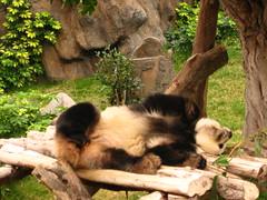Ocean Park Sleeping Panda