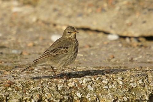 Concrete Pipit by julian sawyer