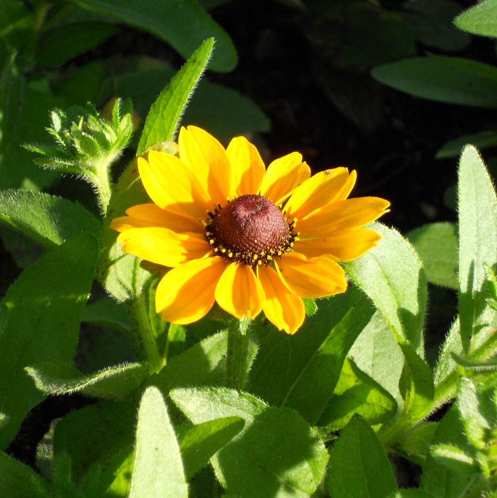 Flower day - Feliz Quinta Flower !!!  SOOC /Coneflower /Rudbeckia fulgida!