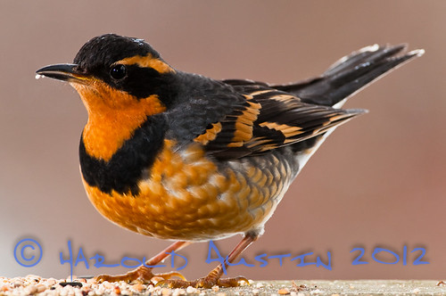 At the feeder- Varied Thrush (Ixoreus naevius)