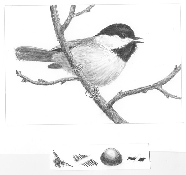 6758362247 bc1ce9caa0 z jpgBlack Capped Chickadee Drawing