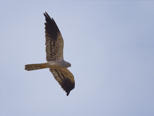 Montagu's Harrier male in flight
