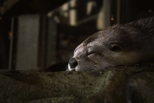 sleepy river otter