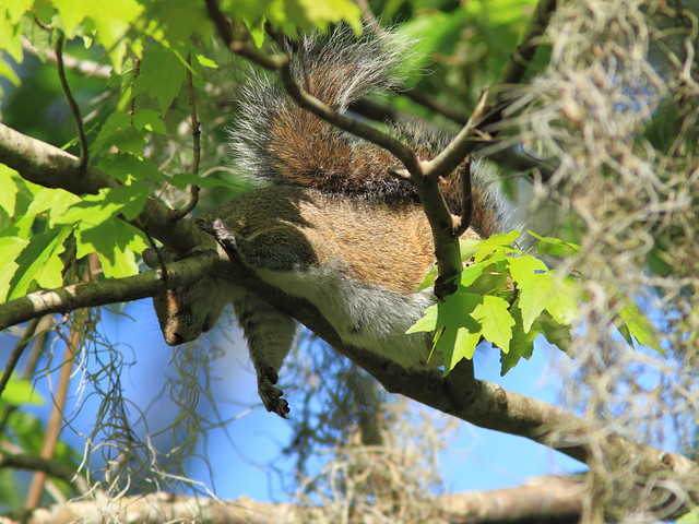 Sleepy and pregnant squirrel 20120131