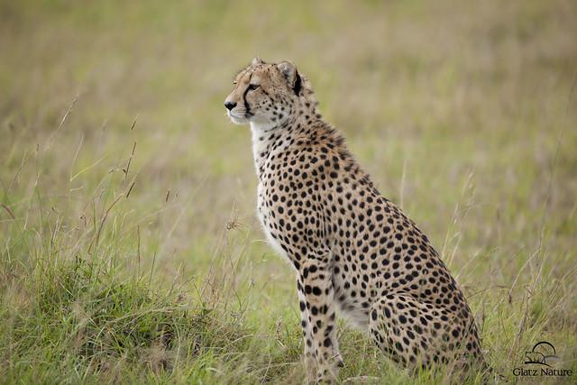 After a rain storm, nearly-adult male Cheetah cub surveys the Masai Mara for ...