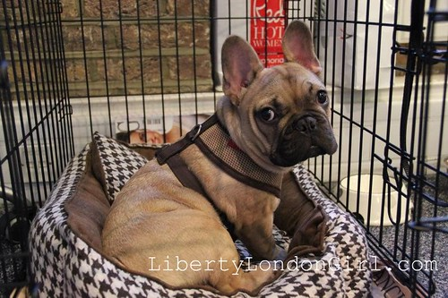 Dougal French Bulldog puppy