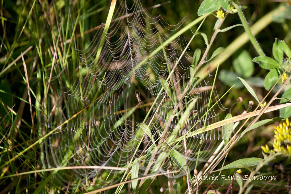 Longjawed Orbweaver (Genus Tetragnathidae)-4.jpg