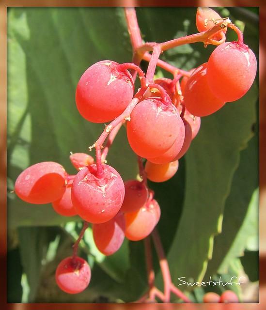 Cyphostemma juttae fruit