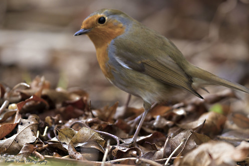 Robin in Leaves