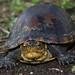 White-lipped Mud Turtle - Photo (c) Camilo Hdo, some rights reserved (CC BY-NC-ND)
