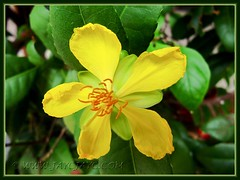 Brilliant yellow flower of Ochna kirkii (Mickey Mouse Plant, Bird's Eye Bush)