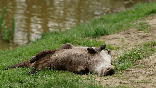 two otters rolling on their backs on a grassy riverbank.