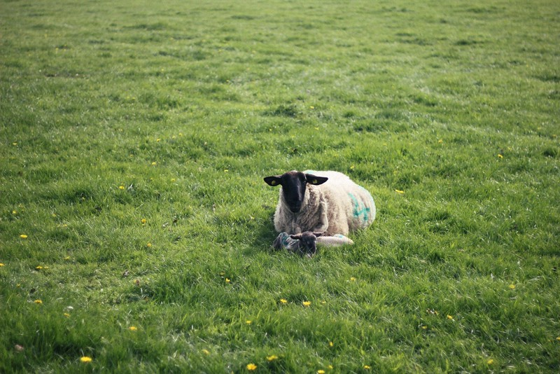 ewe and lamb field