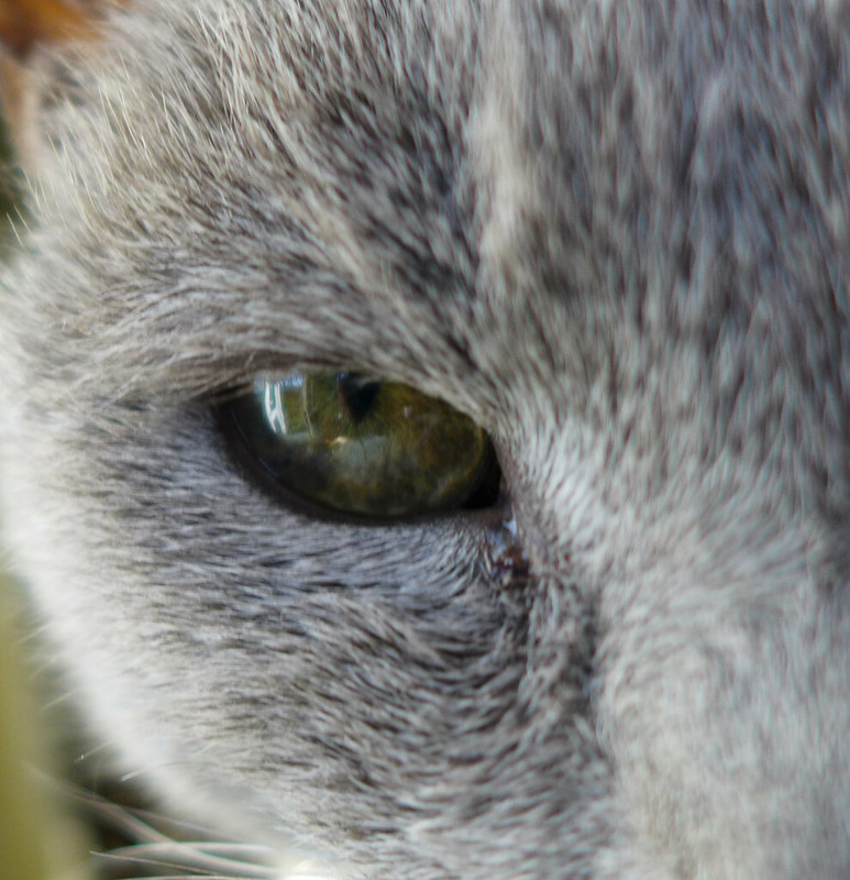 Russian Blue Eye