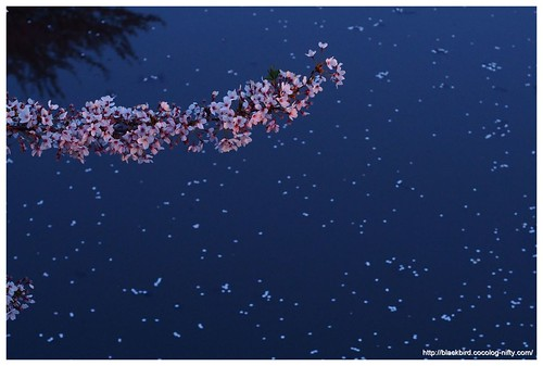 End of cherry blossoms #01