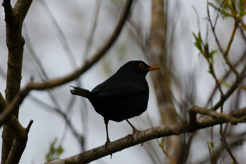 Blackbird on a look-out branch