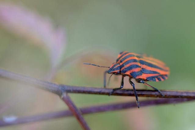 Graphosoma lineatum (Chinche rayada)