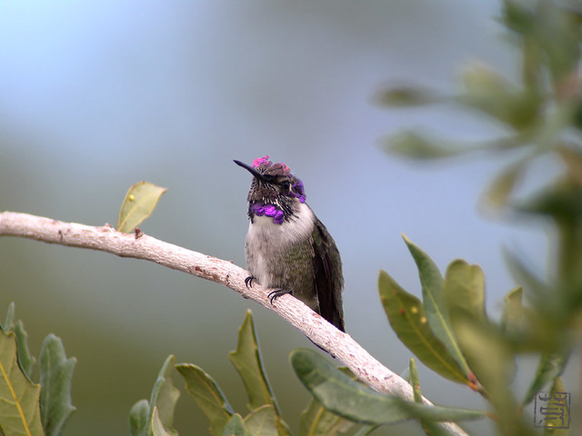 Costa's Hummingbird@AZ, Nov 2011
