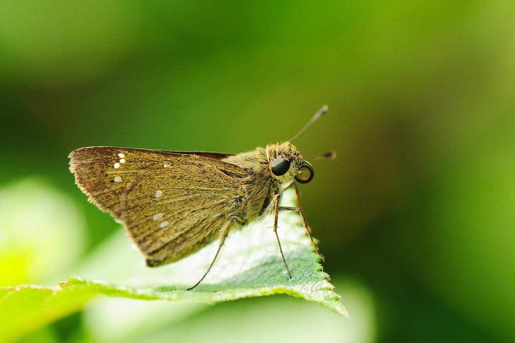 台灣單帶弄蝶 Borbo cinnara