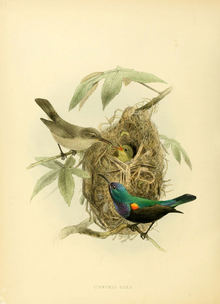 sun-birds book illustration lithograph
