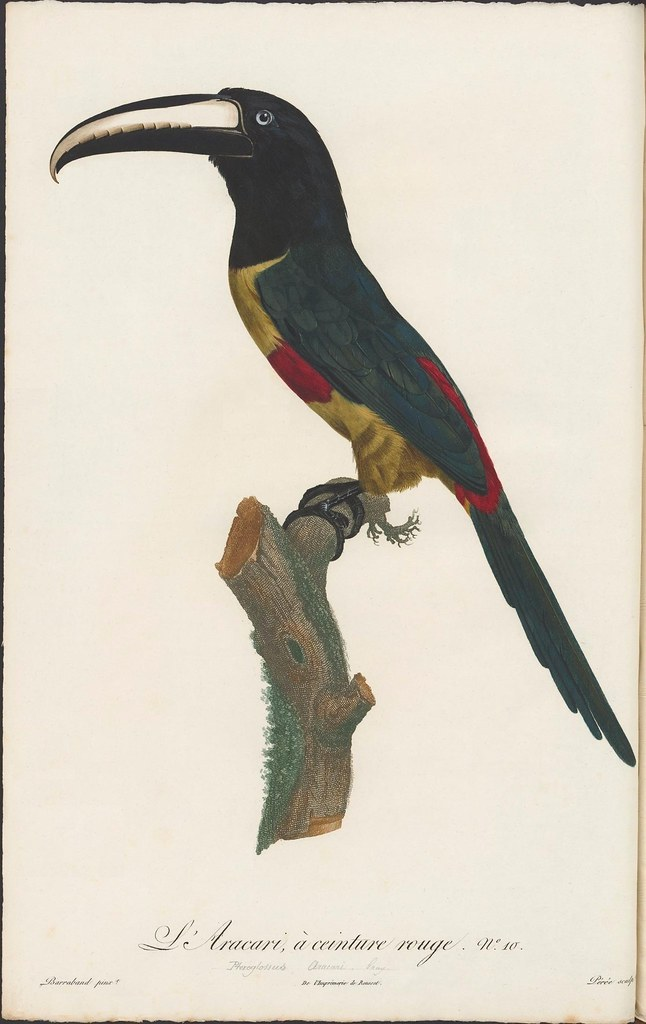 19th century illustration of toucan