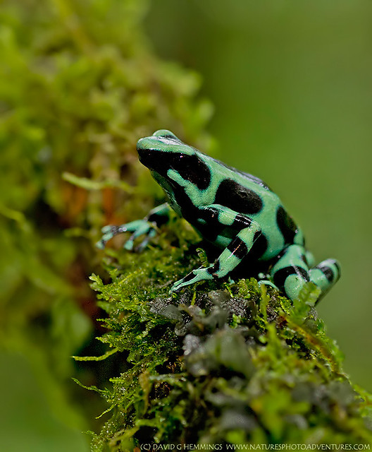 Green & Black Poison Dart Frog | Flickr - Photo Sharing!