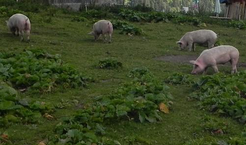 4 Cochons et ânes (1024x768)